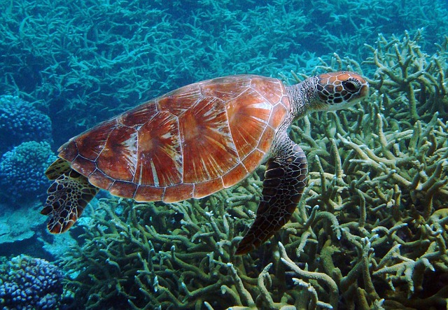 swim with sea turtles in Australia