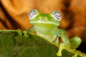 Pretty-eyed glass frog (South America Travel)