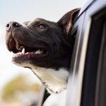 Avoid Car Sickness In Your Dogs